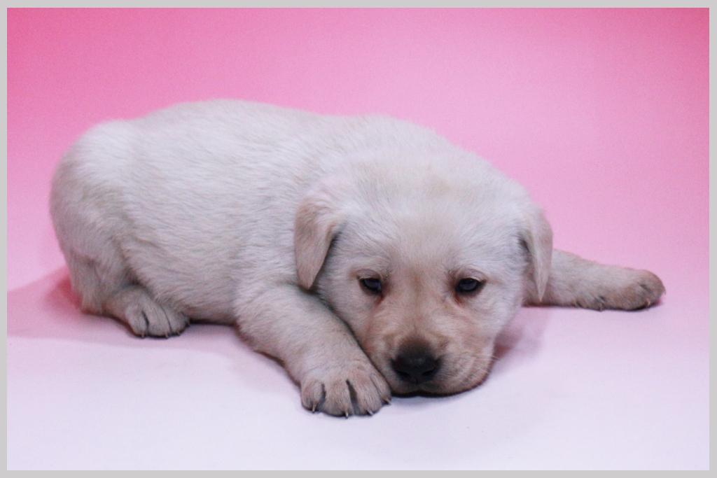 ラブラドールレトリバー子犬販売02の画像2