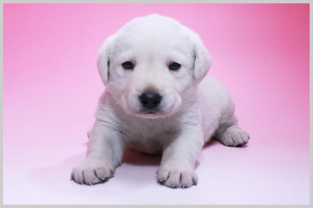 ラブラドールレトリバー子犬販売03の画像1