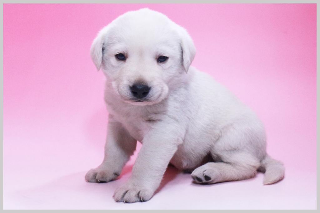 ラブラドールレトリバー子犬販売03の画像2