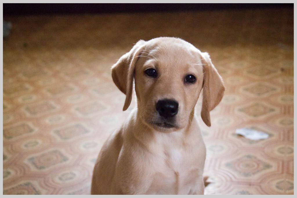 ラブラドールレトリバー子犬販売04の画像1