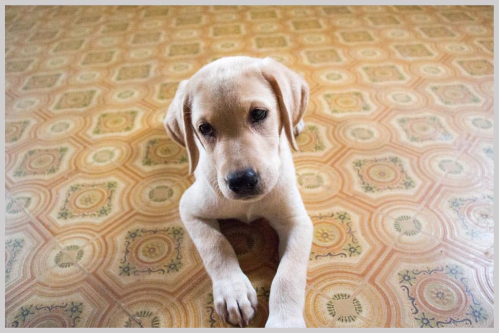 ラブラドールレトリバー子犬販売04の画像2