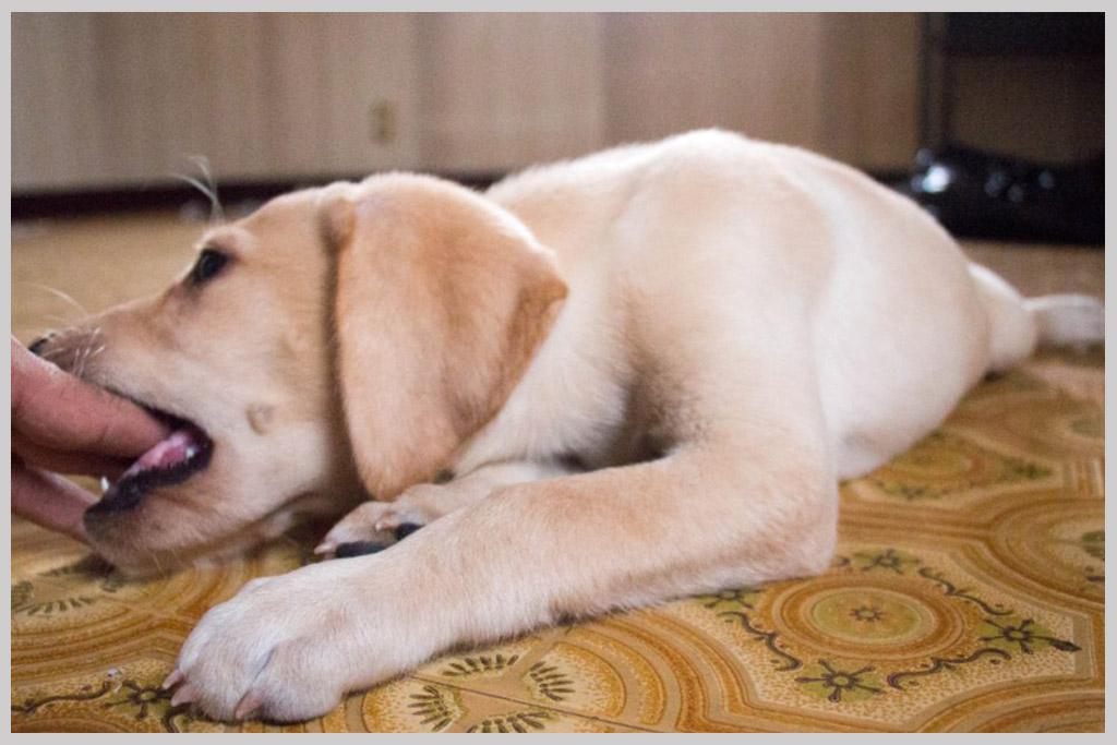 ラブラドールレトリバー子犬販売04の画像3