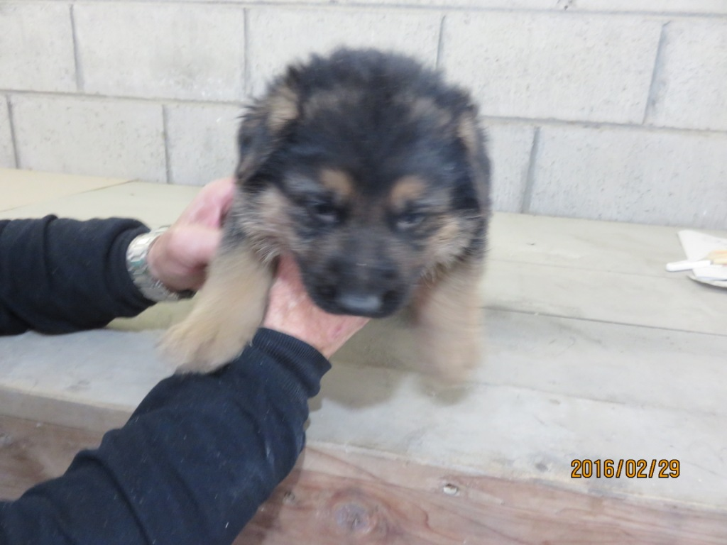 ジャーマンシェパード 子犬販売の画像1