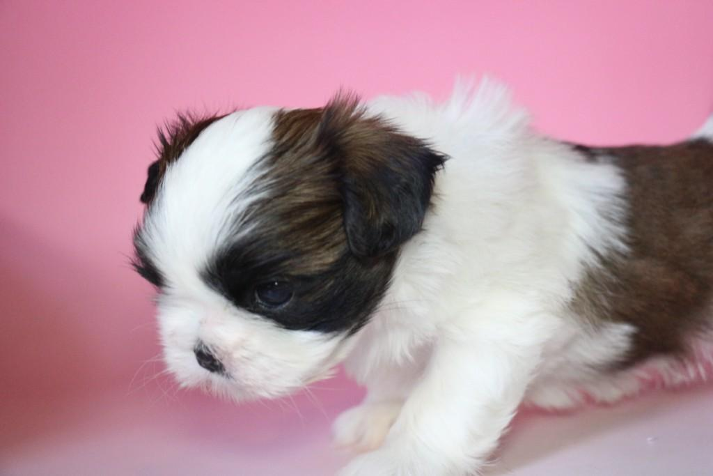シーズー 子犬販売情報の画像2