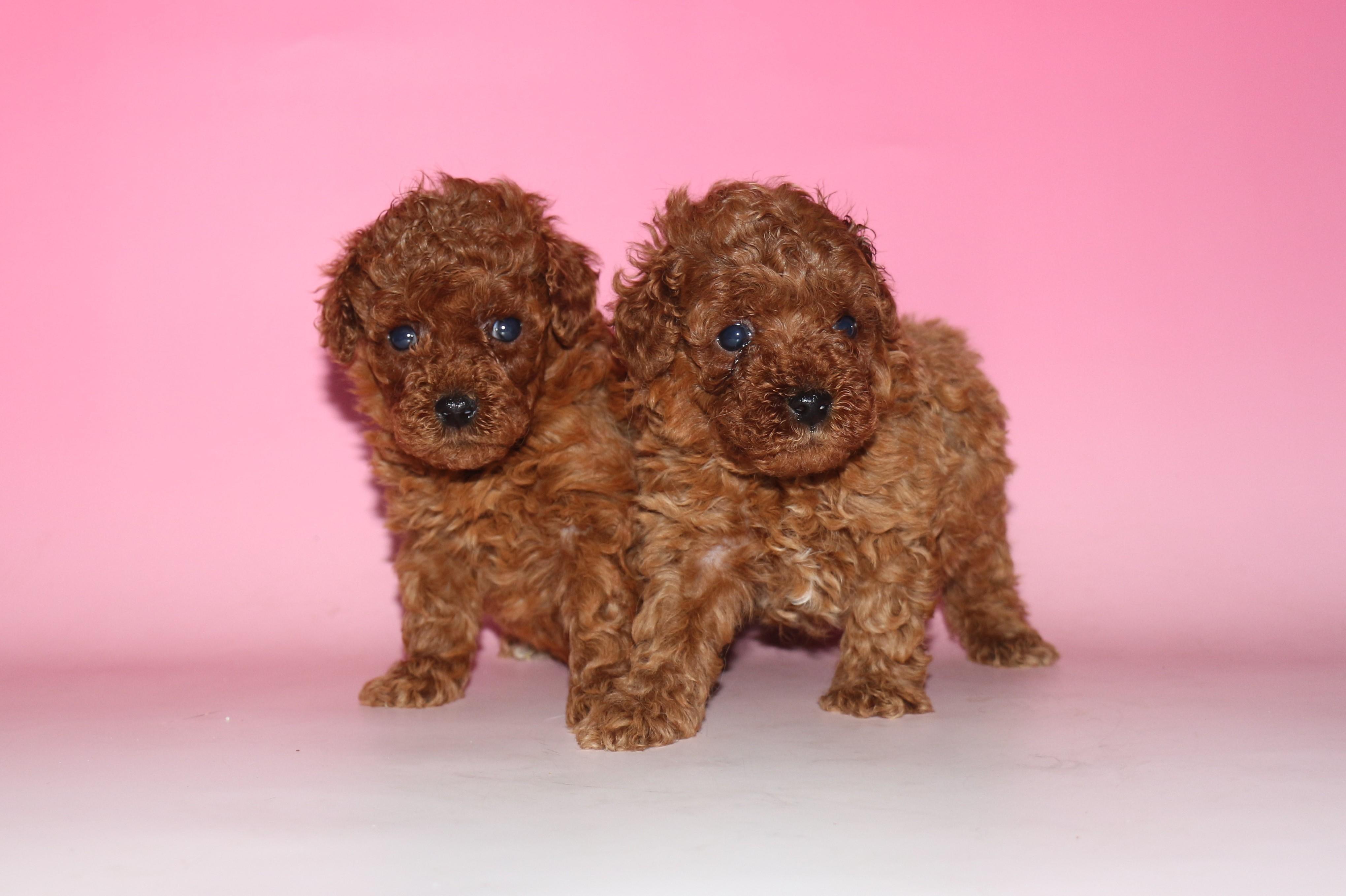 トイ・プードル 子犬販売情報の画像2