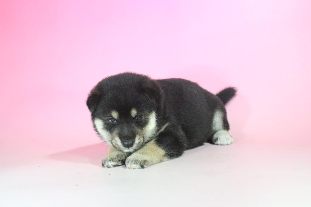 柴犬 01 子犬出産情報の画像1