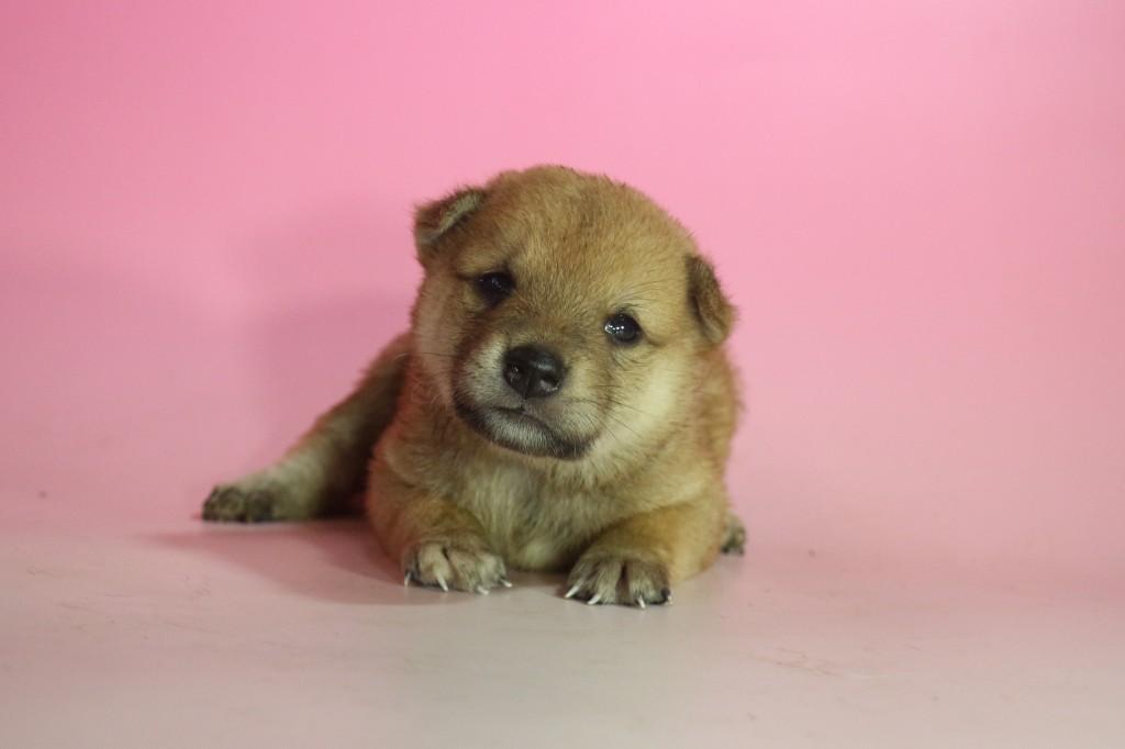 柴犬02 子犬出産情報の画像1