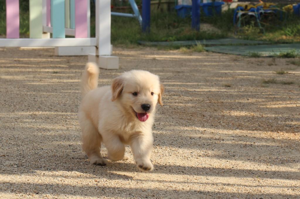 ゴールデンレトリバー 子犬出産情報の画像1