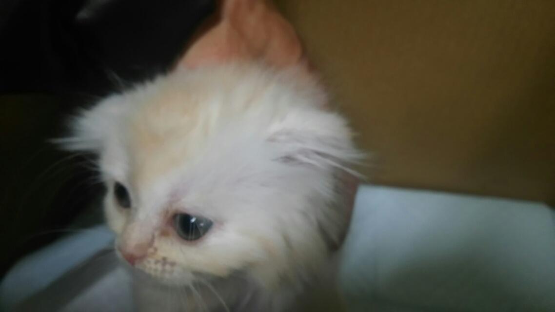 スコティシュフォールド子猫販売情報の画像1
